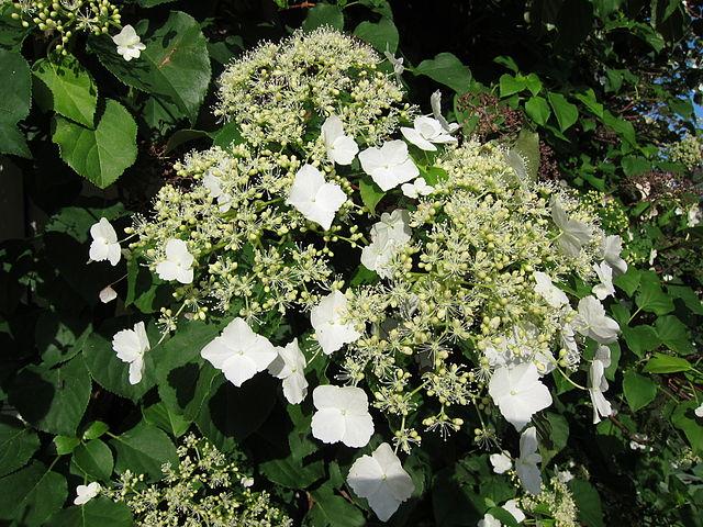 Best Climbing Plant for Shade-Hydrangea petiolaris?