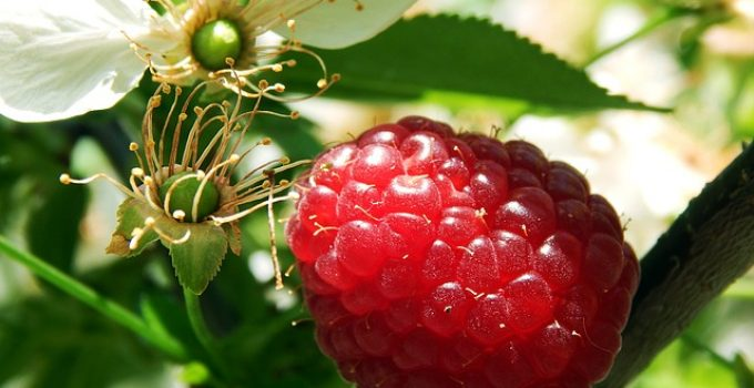 Growing Raspberry Plants – The How, Where,  When and Why