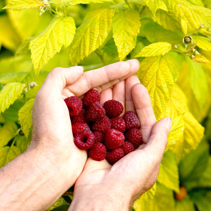home grown raspberries from containers