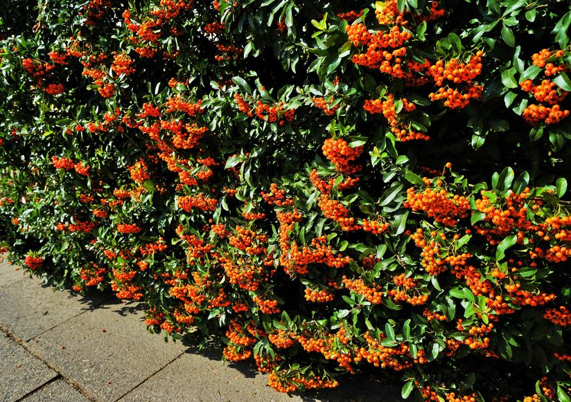 Pyracantha make a great wildlife hedge for semi shade