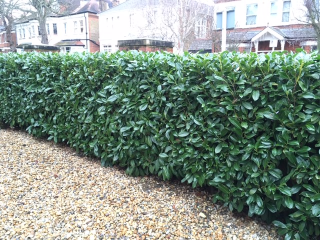 Laurel is a fast growing evergreen hedge for shade
