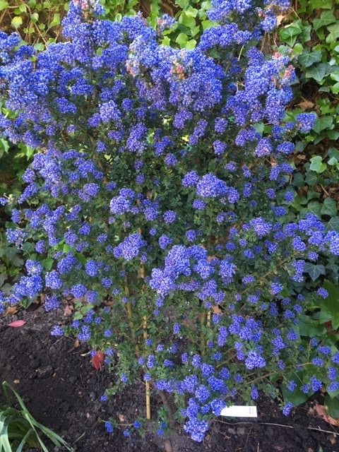 flowering ceanothus hedge